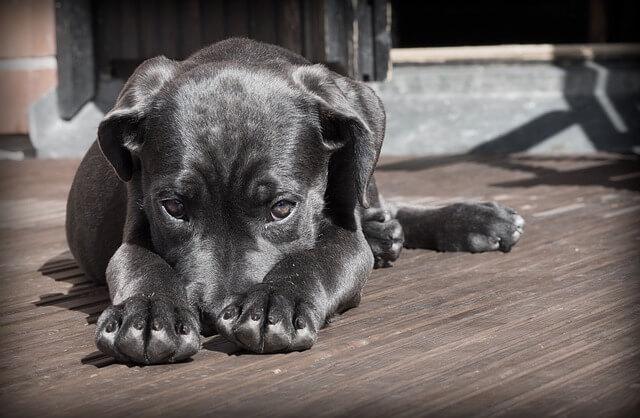 Pet Dog